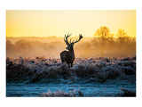 Red Deer At Dusk Posters