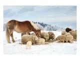 Sheeps & Haflinger Horse Winter Affiches