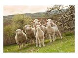 Sheep and Lambs on Pasture Print