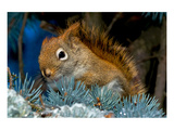 Red Squirrel in a Blue Spruce Prints