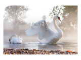 Swan Stretching on Misty Lake Prints