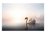 Swan Floating on Pond at Dawn Posters