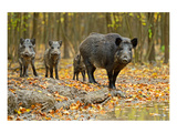 Wild Pig in the Autumn Forest Wydruk giclee premium