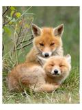 Pair of Cuddling Red Fox Cubs Art