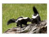 Two Skunks on a Tree Stump Posters