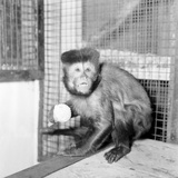 Capucine Monkey 1975 Photographic Print by  Staff