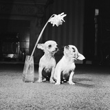 Two Pups Looking at a Flower in a Vase, 1962 Photographic Print by Howard Walker