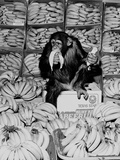 A Chimpanzee in Paradise Photographic Print by  Staff
