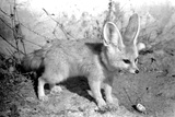 Rommella the desert fox February 1972 Photographic Print by  Staff
