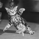 Surprised kitten 1958 写真プリント : スタッフ