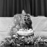 Pip the Squirrel Monkey Photographic Print by Sunday People