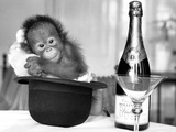A baby Orangutan at Twycross Zoo Fotografisk tryk af  Staff