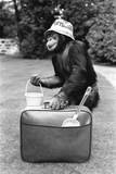 A Chimpanzee at Twycross Zoo ready for travelling Photographic Print by  Staff