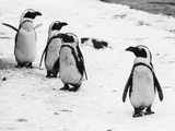 Penguins at London Zoo 1970 Photographic Print by Arthur Sidey