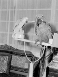 100 Year Old Parrot 1952 Stampa fotografica di  Staff