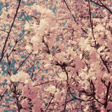 Cherry Blossoms I Photographic Print by Eva Hawk