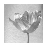 B&W Tulip Posters by Gail Peck