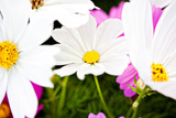 Daisies I Photographic Print by Susan Bryant