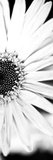 White Bloom I Fotodruck von Susan Bryant