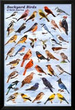 Backyard Birds Educational Science Chart Poster Posters