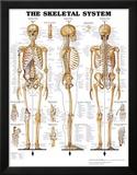 The Skeletal System Anatomical Chart Poster Print Kunstdrucke