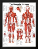 The Muscular System Anatomical Chart Poster Print Pósters