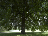 Large Oak Tree, Hyde Park, London Photographic Print by Richard Bryant