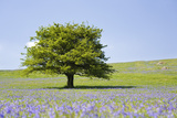 Lone Tree and Mauve Spring Wildflowers at Holwell Lawn, Dartmoor, Devon England Photographic Print by David Clapp
