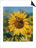 Sunflower and Butterflies Print by William Vanderdasson
