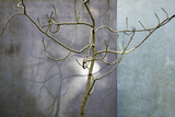 Bare Fig Tree Casting a Shadow on a Grey Wall Photographic Print by Richard Bryant