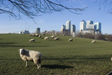 Flock of Sheep at Mudchute Park and Farm, in Front of Canary Wharf, Docklands, Isle of Dogs, London Photographic Print by Natalie Tepper