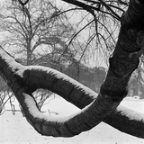 Curving Tree Branches Forming a Loop Covered in Snow in a Snowy Landscape at Kew, Greater London Photographic Print by John Gay