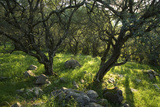 Corfu, Greece - Olive Trees in the Countryside of Corfu Fotografisk tryk af Clive Nichols