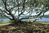 The Temple Tree by Lake at Lunuganga Garden, Dedduwa Lake, Bentota, Sri Lanka Photographic Print by Richard Bryant
