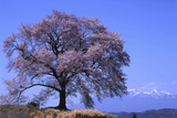 Wanizuka Cherry, Yamanashi Prefecture, Japan. Japan Alps Photographic Print by Bill Tingey