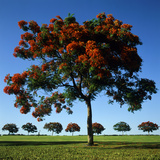 The Flame Tree, or Royal Poiniana Is a Tropical Flowering Plant, Dubai Photographic Print by  LatitudeStock