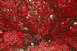 Bright Red Leaves on Tree Photographic Print by Michael Freeman
