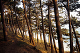 Sunlight on Pine Trees at Bornholm, Cliffs - Denmark Photographic Print by Annet van der Voort Bildarchiv-Monheim