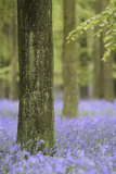 Tree in Bluebell Forest, Ashridge, Hertfordshire, England Photographic Print by David Clapp