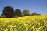 Yellow Rape Fields, Canola Fields, Wiltshire, England Against a Blue Sky Photographic Print by David Clapp
