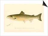 The Atlantic Salmon Posters