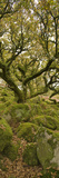 Dartmoor, Wistmans Wood, Stunted Oak Trees, Vert Pano Photographic Print by David Clapp