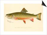 Male Brook Trout Prints