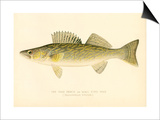 Pike Perch Poster
