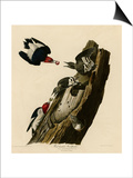 Red Headed Woodpecker Print