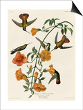 Mangrove Hummingbird Posters