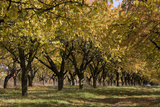 Old Cherry Plantation in Autumn, Eckartsberga, Saxony-Anhalt, Germany Photographic Print by Sigrid Schutze-Rodemann