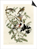 Rose Breasted Grosbeak Prints