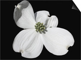 White Dogwood Bloom Posters by Karen Williams