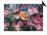 Bluebird/Pink Dogwood Posters by William Vanderdasson